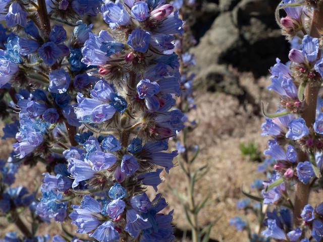 Tajinaste picante o azul. Blue tajinaste. Echium auberianum