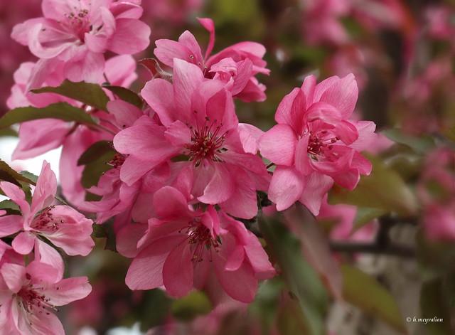 Malus 'American Beauty Crabapple' - Pometier