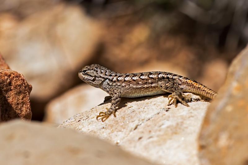 Lizard-1-7D1-053119