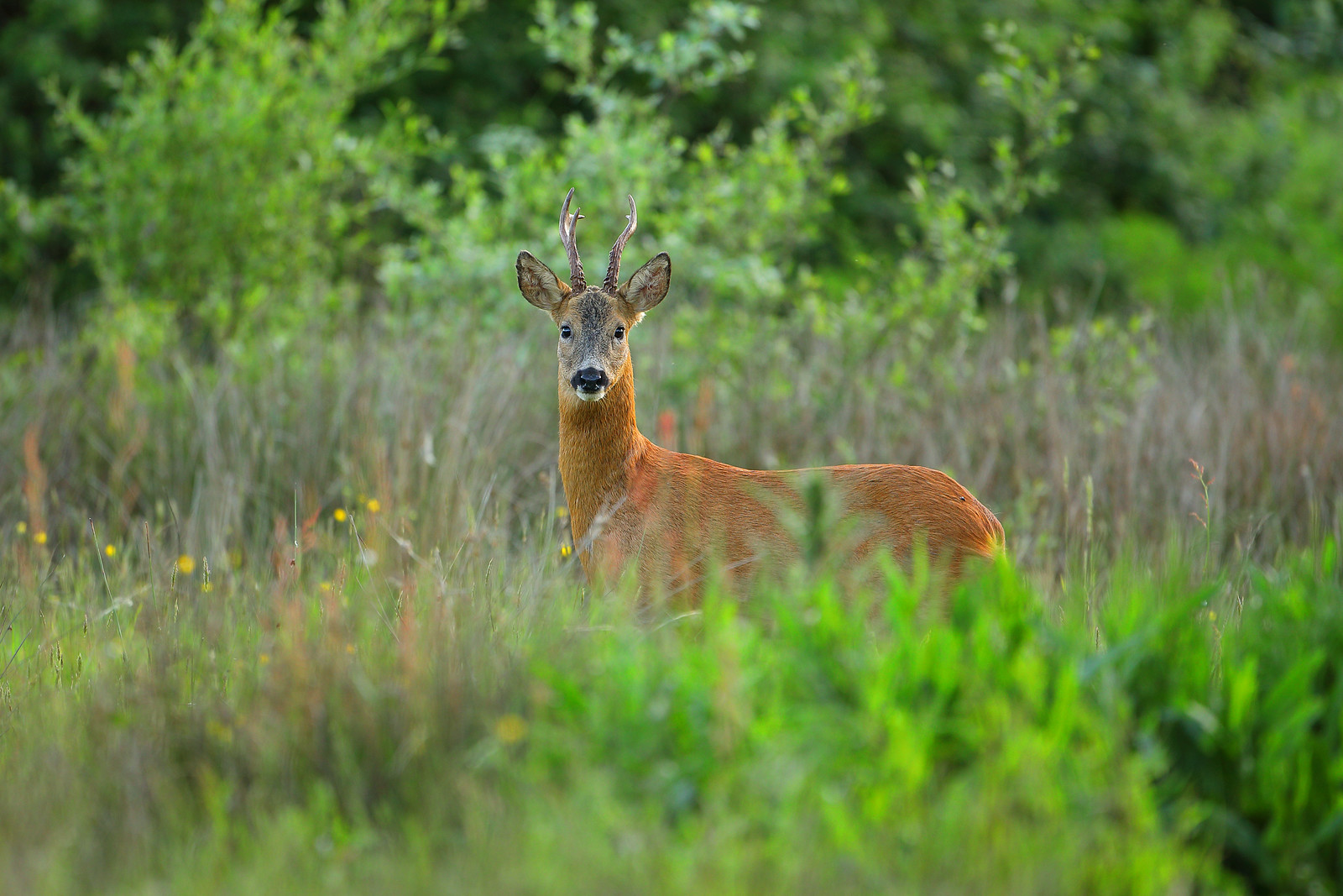 Mature Roe Deer Buck in Meadow