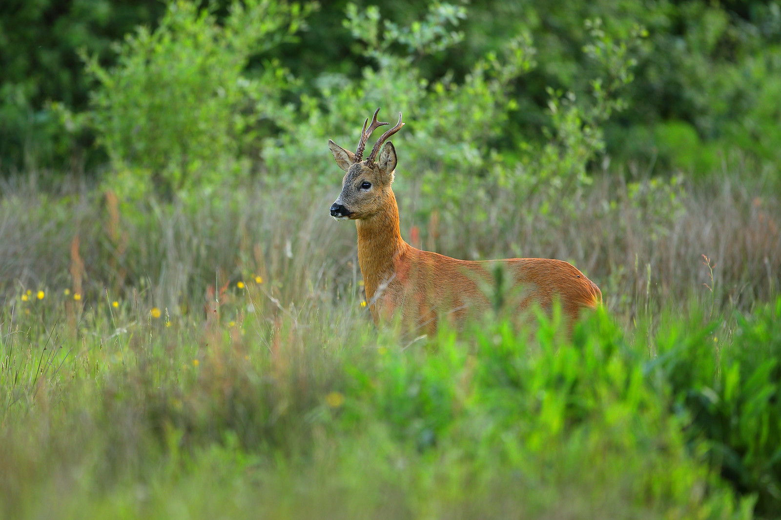 Mature Roe Deer Buck Observing People