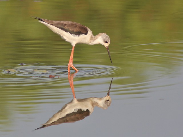 Black-Winged Stilt (J)