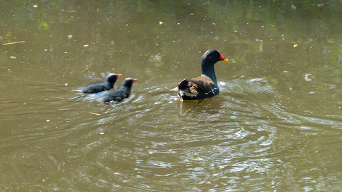 Moorhen with two chicks, Compton