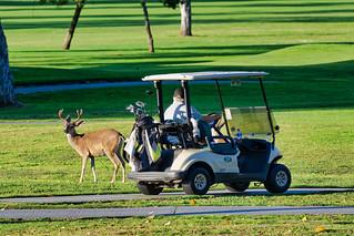 Deer and Golf Cart
