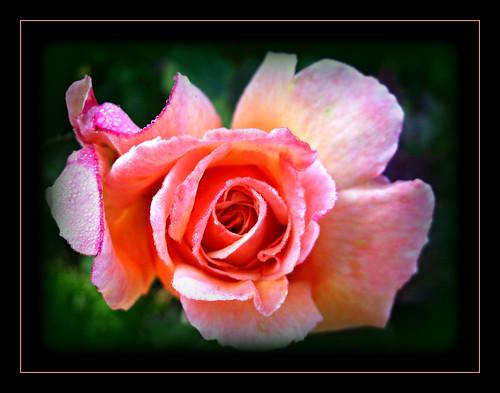 "rose ""hybridtearose"" ""tahitiansunset"" zary ""newgenerationroses®"" jacgodde ""vancouver bc"" ""stanleyparkrosegarden"" flower flora nature landscaping park garden"