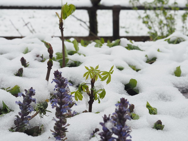 Young Chestnut Tree Sapling + Ajuga reptans + Spring Snow © Junger Kastanienbaum + Günsel + Frühling Schnee ©
