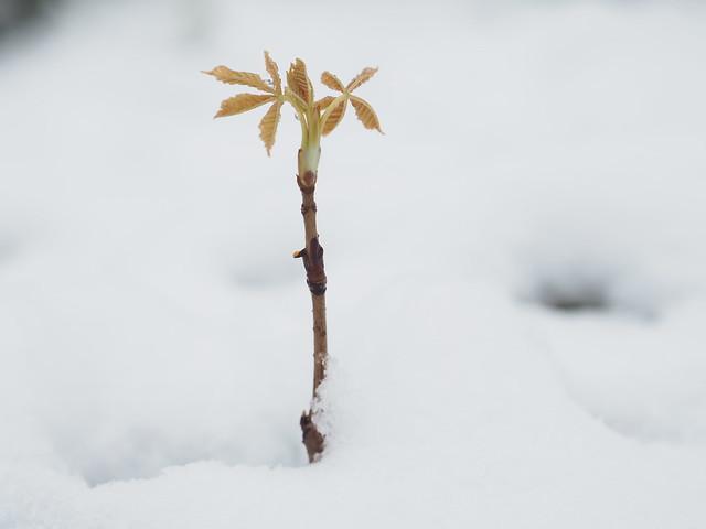 Young Chestnut Tree Sapling Spring Snow © Junger Kastanienbaum Frühling Schnee ©