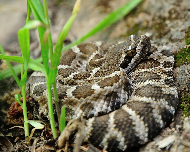 Baby Northern Pacific Rattlesnake