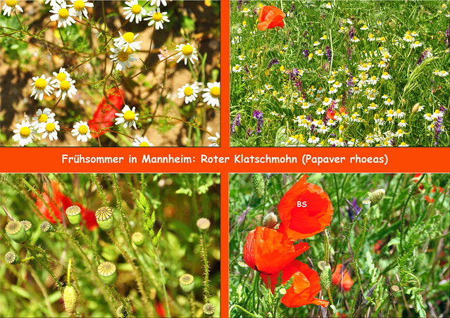 Ende Mai 2019 ... Autobahnbrücke Mannheim-Friedrichsfeld ... Roter Mohn (Papaver) … Papaver rhoeas ... Klatschmohn … Pavot … coquelicot … Red Poppy ... Fotos: Brigitte Stolle