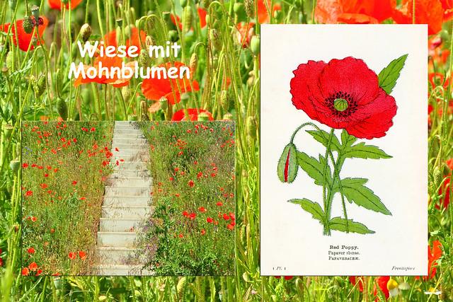 Ende Mai 2019 ... Autobahnbrücke Mannheim-Friedrichsfeld ... Roter Mohn (Papaver) … Klatschmohn … Pavot … coquelicot … Red Poppy ... Fotos: Brigitte Stolle
