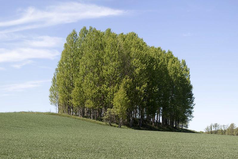 Aspen grove in early Summer