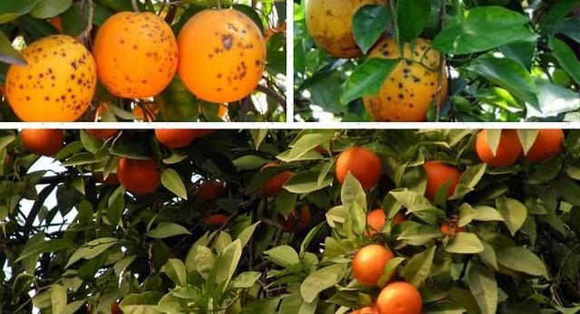 Fungo-macchia-nera-arance-min