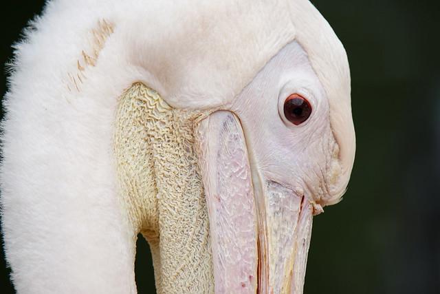 Pelican,...