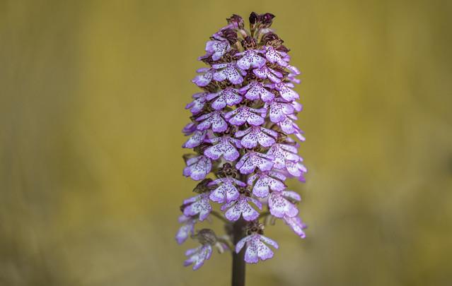 Bíboros kosbor (Orchis purpurea)