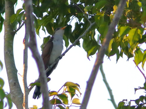 Yellow-billed Cuckoo 01-20190601