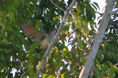 Yellow-billed Cuckoo 02-20190601