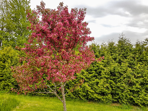 Crabapple Tree | by Stephen Downes
