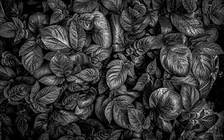 potato leaves, 2019 | by franzj