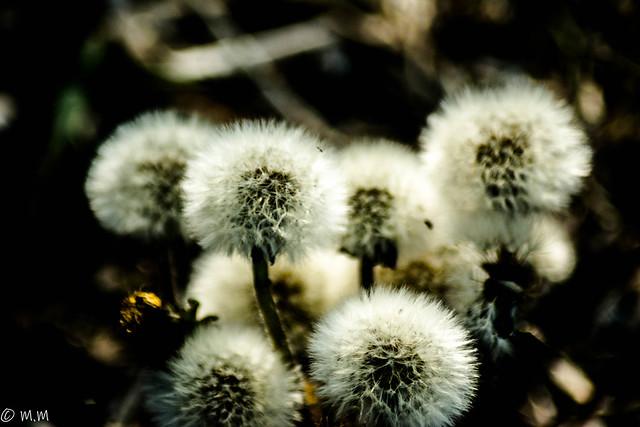 The seedheads