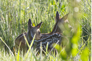 Bambi plus one (Roe Fawns)   by sinky 911