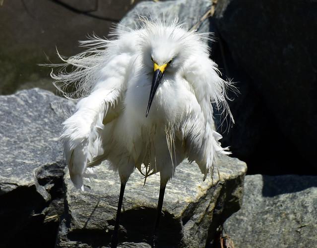 _DSC6007.Snowy Egret
