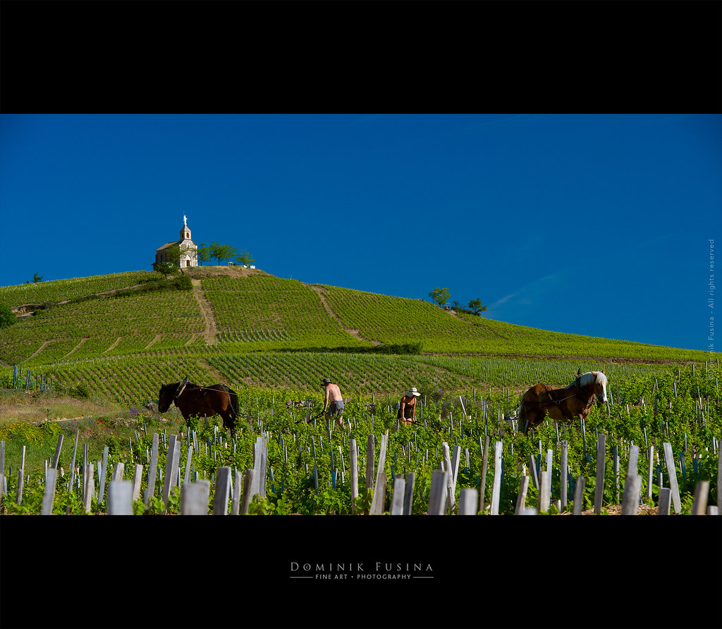 Labourage with horses in Beaujolais (Fleurie)
