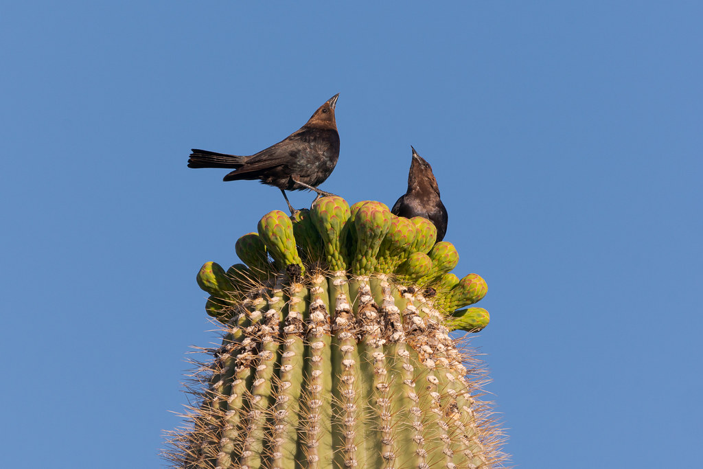Two male brown-headed cowbirds arch their heads towards the sky as they stand on flower buds atop a saguaro along the Latigo Trail in McDowell Sonoran Preserve in Scottsdale, Arizona in May 2019