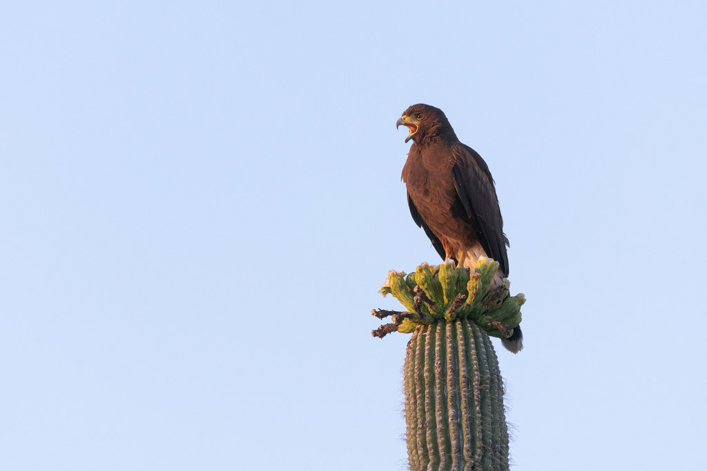 A Harris's hawk calls out from atop a saguaro, lit by the soft light of the rising sun as it partially cleared the mountains, taken on the Latigo Trail in McDowell Sonoran Preserve in Scottsdale, Arizona in May 2019