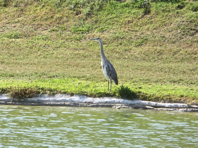 heron at the pond