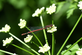 Large Red damselfly at Chesworth Farm, Horsham this afternoon