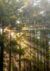Redwood Crepuscular Rays