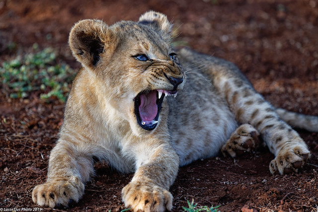 Lion cub at the savannah in Zimanga, lazy afternoon