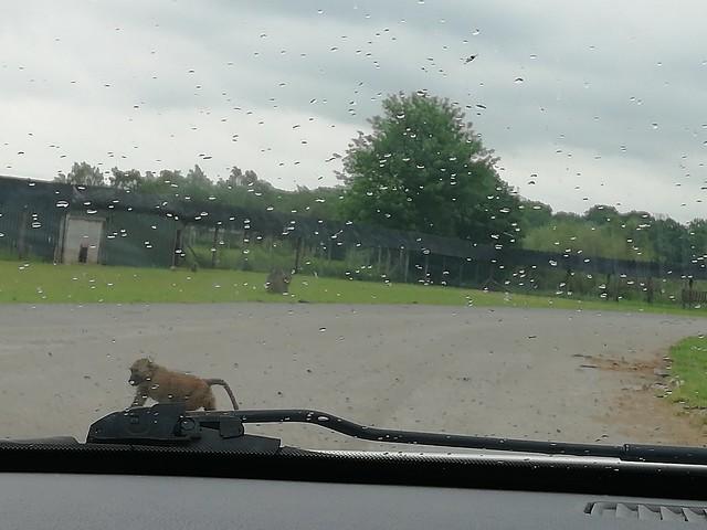 Knowsley Safari Park Merseyside, England, UK (01-06-19)