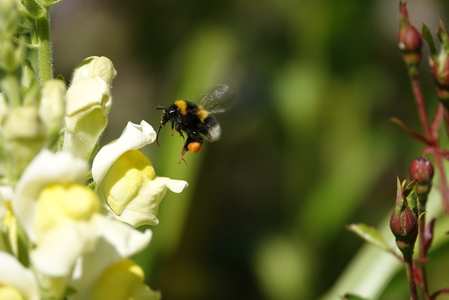 Bumblebee and Snapdragon