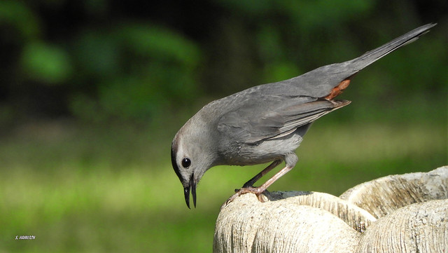 Gray Catbird...To Jump Or Not To Jump!