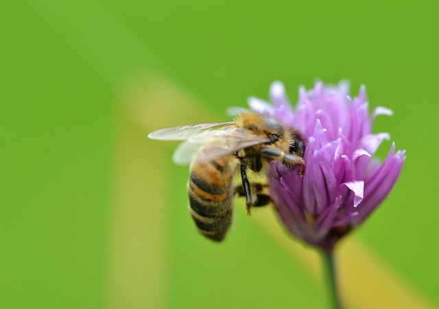 honey bee on chive flower 3/3