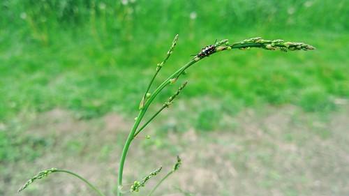 More Asparagus Beetles