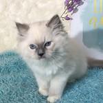 Foggy, Blue Mitted Ragdoll Boy Kitten