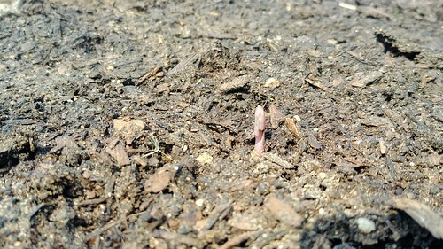 Third Purple Passion Asparagus Sprouting