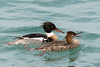 Red-breasted Merganser by CedricBear