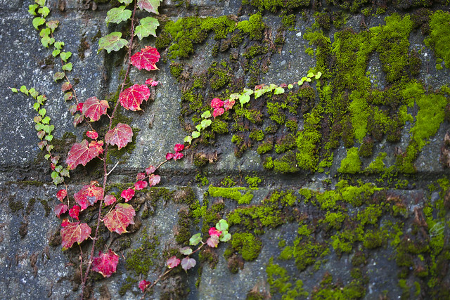 Creeper plant in autumn leaf color climbing on retaining wall at Nogezaka - stock photo