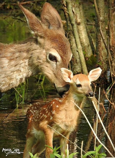 Petit faon tout mignon avec sa maman