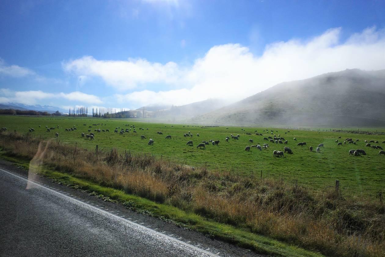 ニュージーランド バス車窓からの草原と羊
