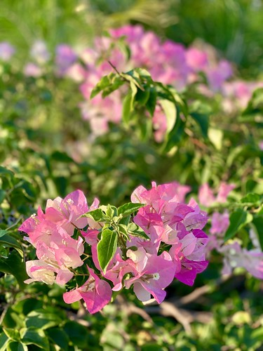 gardening landscaping plants leaves petals pink green bokeh nature iphone walking apollobeach tampabay florida flowers
