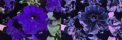 Petunia in ultraviolet