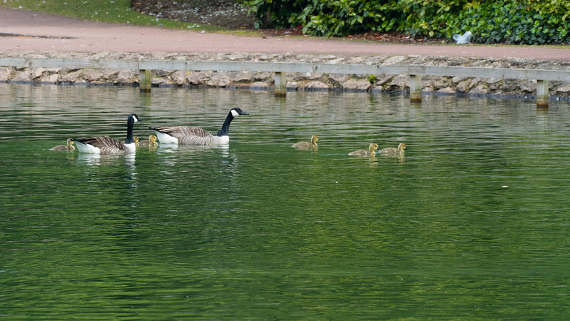 Coming for shore: Canada goose family