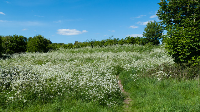 Cow parsley, Barley Field
