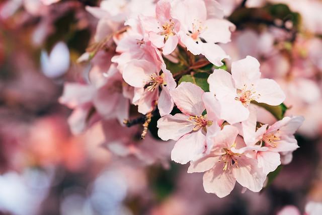 Blossom Season YYC 2019-5