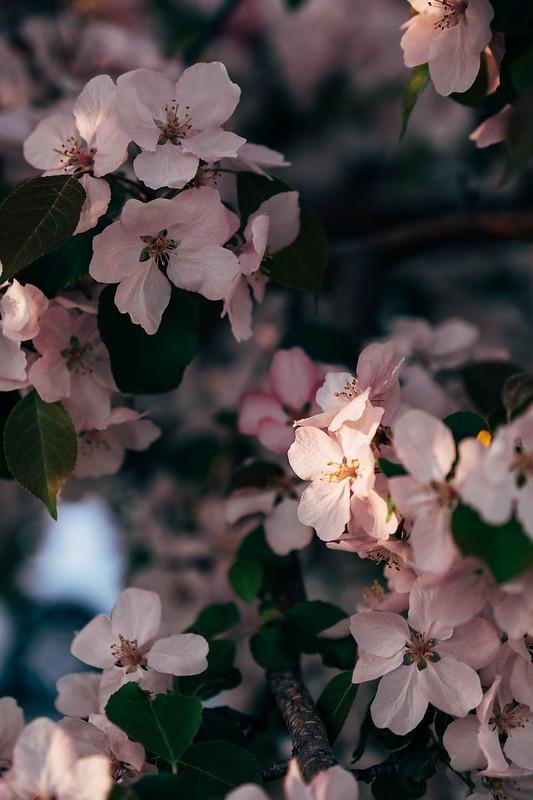 Blossom Season YYC 2019-14