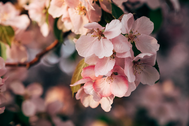 Blossom Season YYC 2019-13